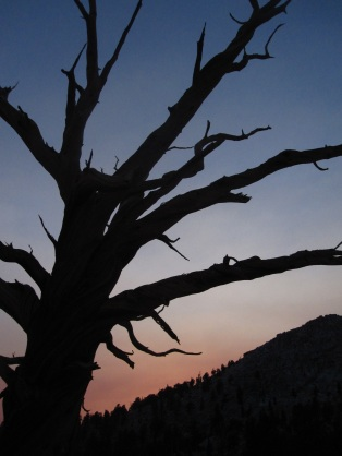 skeleton tree at sunset